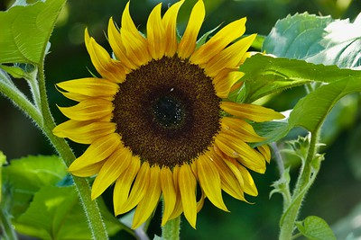 Sunflower at Edgefield