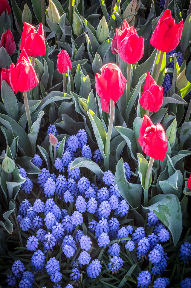 Red Tulips and Hyacinths