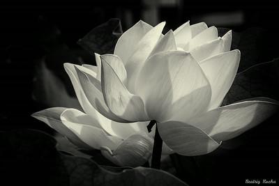 Lotus B&W