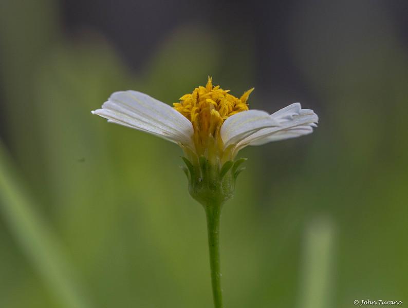 Yellow Weed