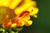 Helenium petals