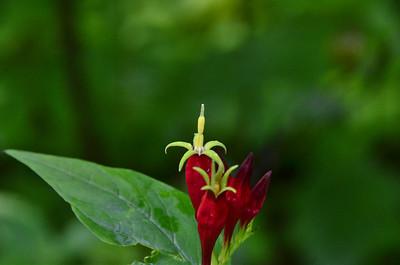 Loganiaceae -  Spigelia marilandica - Indian Pink