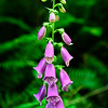 Foxglove and fern