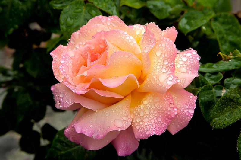 Raindrops on Roses 5