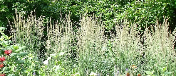 Ornamental grass. Sweet grass.