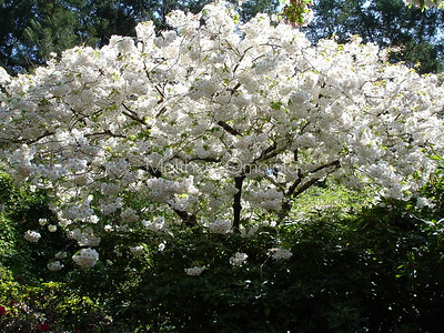 White flowering plant tree. Butchart gardens Victoria BC Canada.