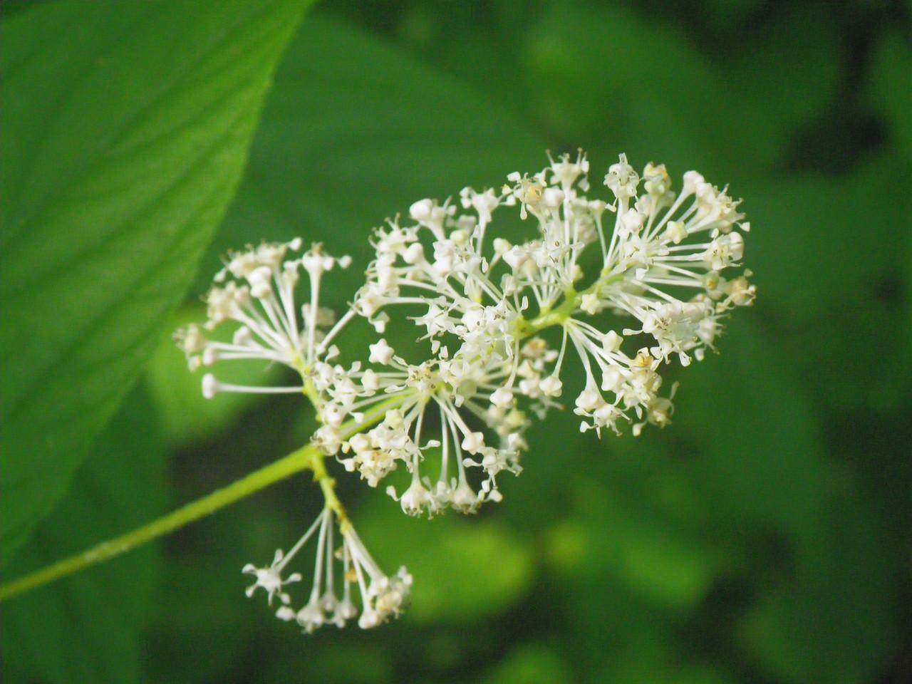 Rhamnaceae -  Ceanothus americanus - New Jersey Tea