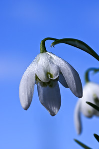 Snowdrop against blue sky