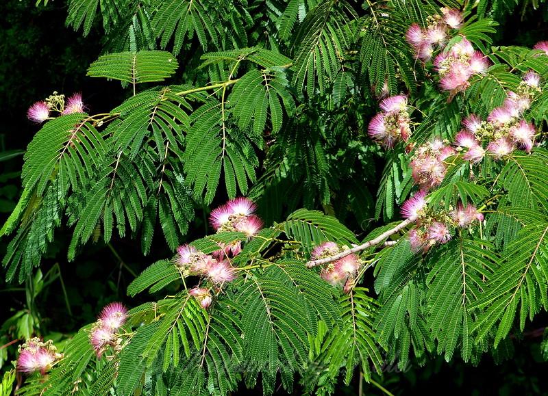Mimosa With Garnish