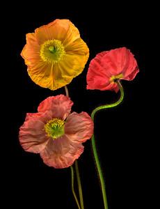 Poppies, Study #13