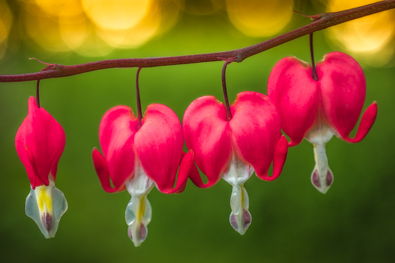 Bleeding Hearts