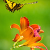 Tiger Swallowtail Alighting on Tiger Lily