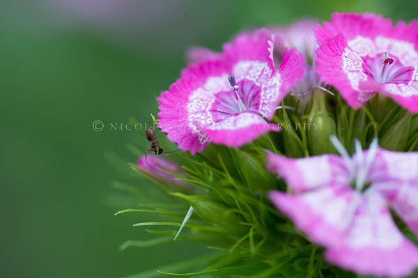 Sweet William Flowers and a spider