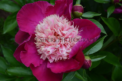 Pink on pink peony