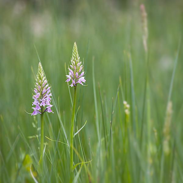 Common Spotted Orchid / Dactylorhiza fuchsii / Bosorchis
