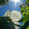 Dogwood Bloom & Sun