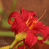 Daylily with grain overlay