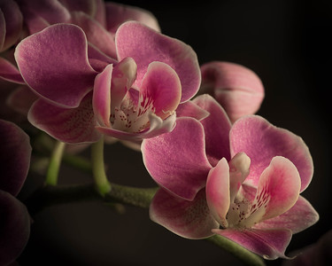 Phalaenopsis close up