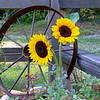 Sun Flowers #449