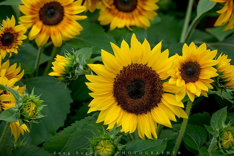 Sunsational Sunflowers (#0908)
