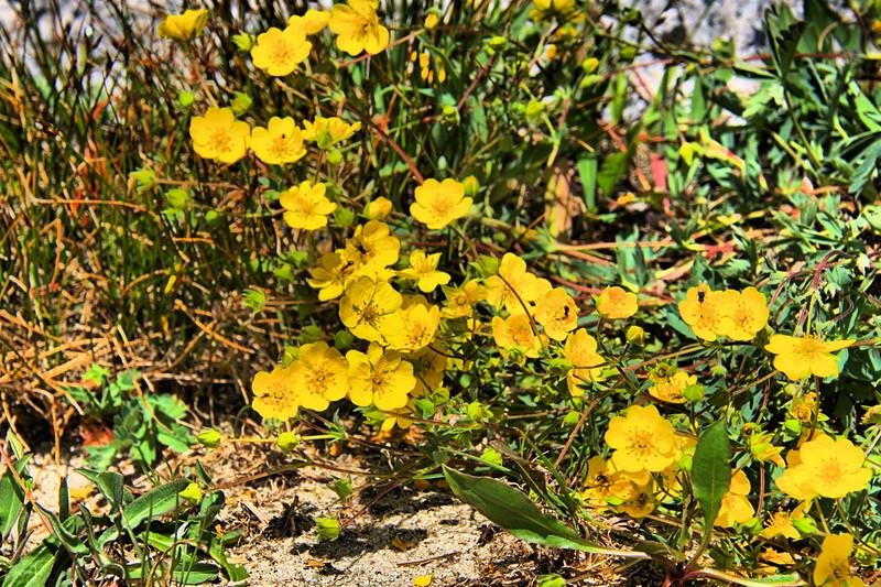 Rosaceae -  Drymocallis Pseudorupestris - Cliff Woodbeauty