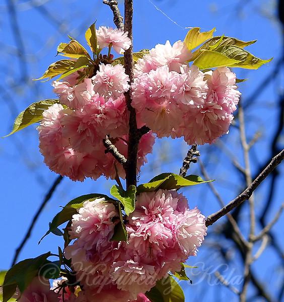Cheery Cherries