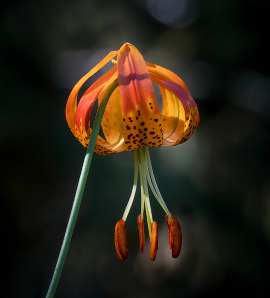 Leopard Lily 2