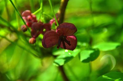 Lardizabalaceae -  Akebia trifoliata -