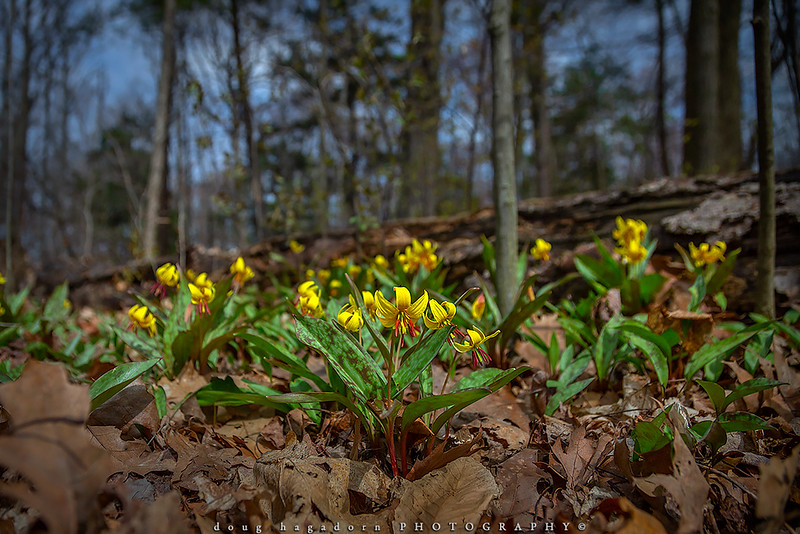 Trout Lilies (#0884)