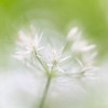 Ramsons (Wild Garlic) / Allium ursinum / Daslook