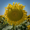 Sunflower 2926