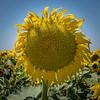 Sunflower 2926