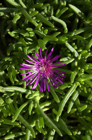 Purple among the Green