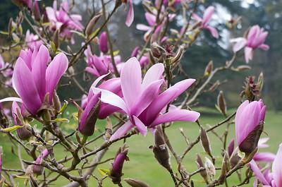 Pink magnolia bush