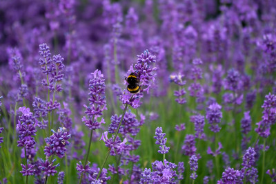 White tailed bumble bee on lavender.