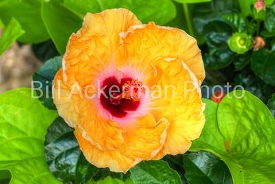 Sanibel Tropical Hibiscus