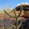 Cactus Plant #468