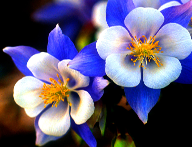 Columbine Bouquet
