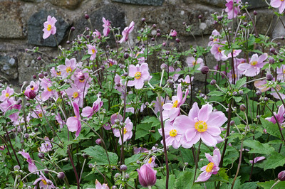 Pink Japanese Anemones by stone wall