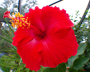 hibiscus red