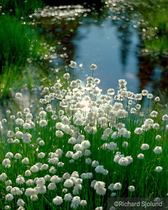 Arctic Cottongrass in Alaska