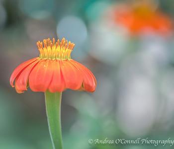 Pollen on Orange