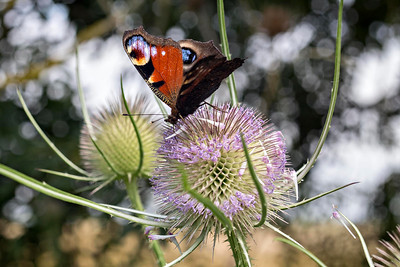 Peacock Butterfly on Teazel