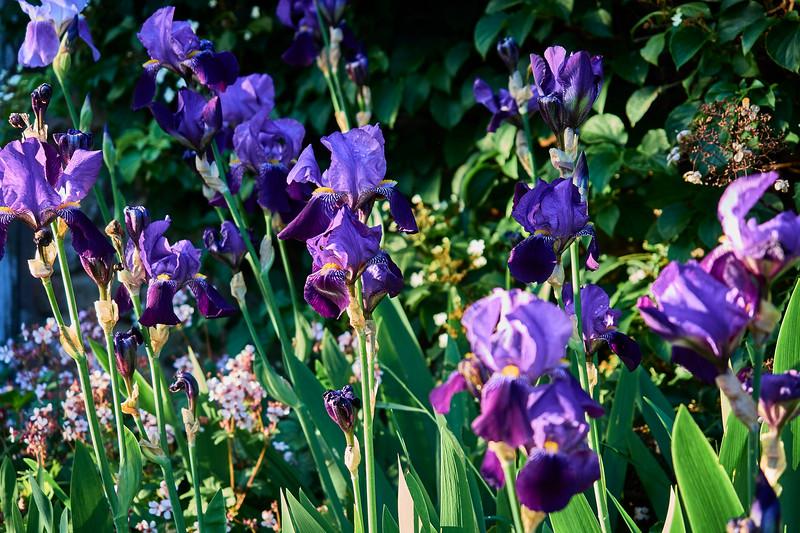 Flag Irises
