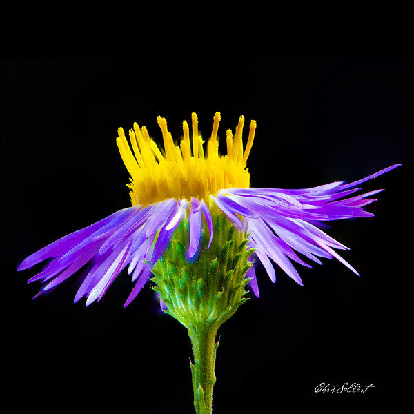Aster-3