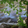 Dogwood & Merced River