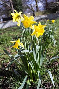 Daffodils In St Wendreda's Churchyard
