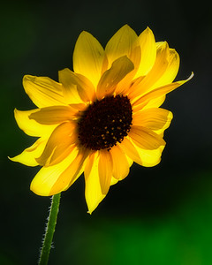 #5088 - Backlit sunflower.
