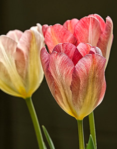 Tulips in the Light