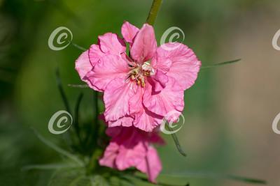 Pink Delphinium Closeup